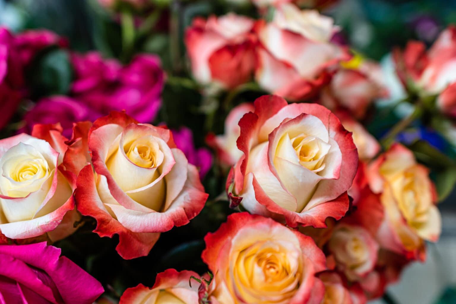 Rosen, Valentinstag, rot, pink, weiß, 9020 Klagenfurt am Wörthersee, Geschenk