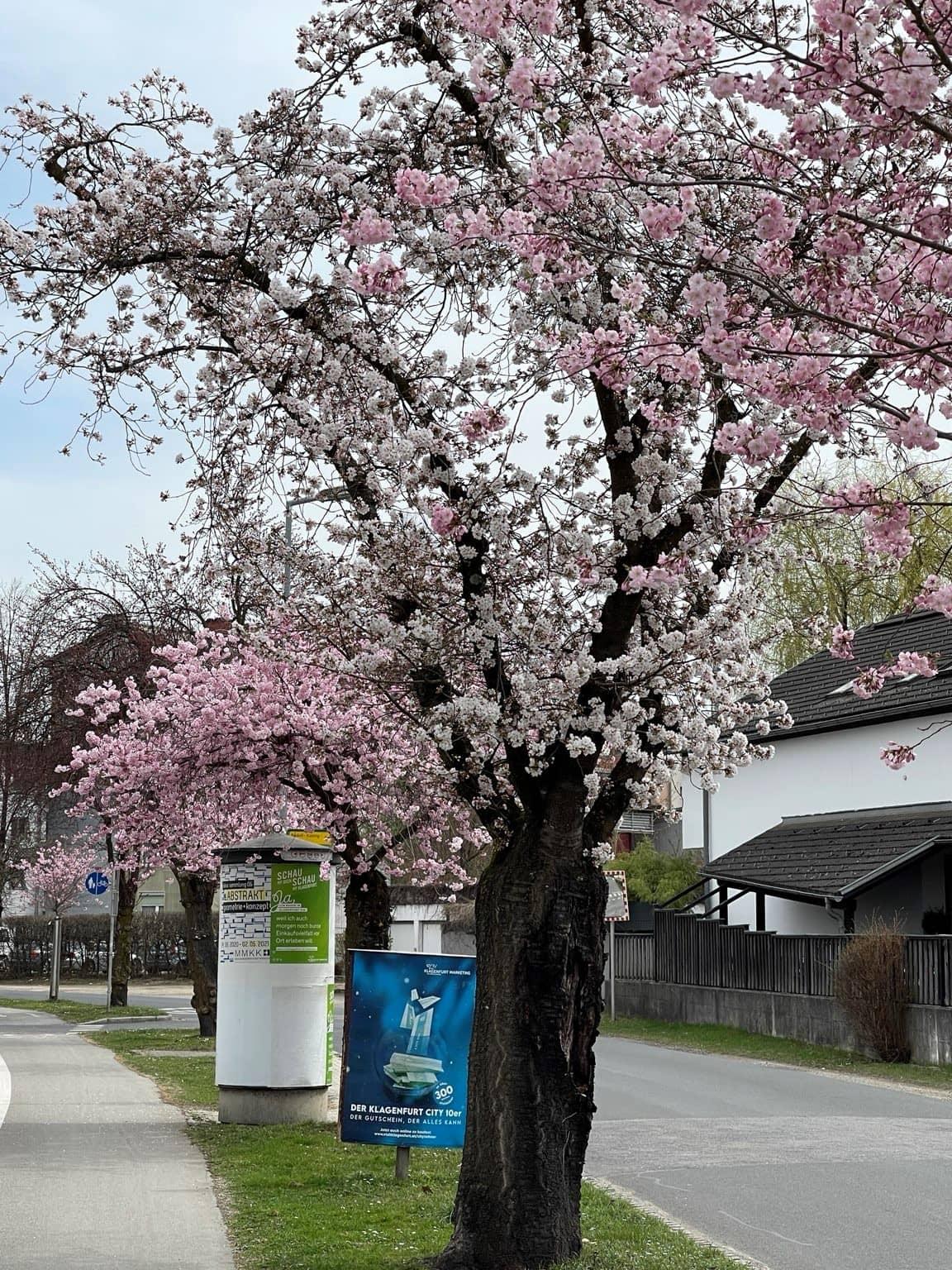 Allee, Kirschblüte, 9020 Klagenfurt am Wörthersee, Frühling, Blüten, rosa