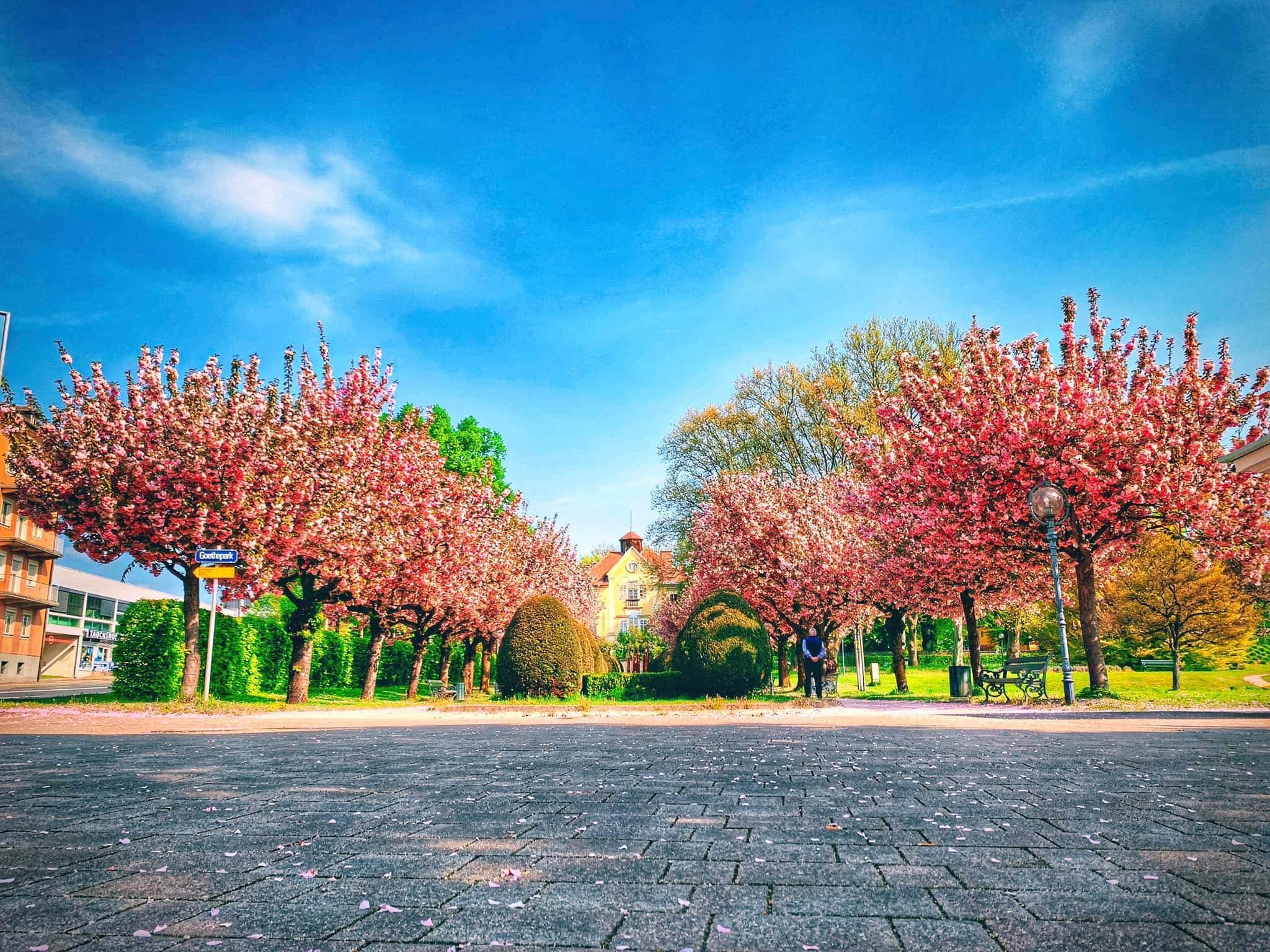 Goethepark, Kirschblüte, 9020 Klagenfurt am Wörthersee, Frühling, Blüten, rosa