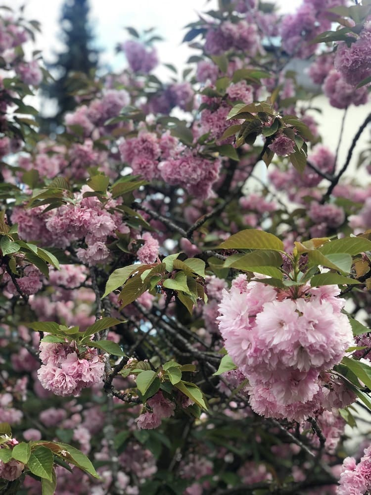 Kirschblüte, Baum, 9020 Klagenfurt am Wörthersee, Frühling, Blüten, rosa