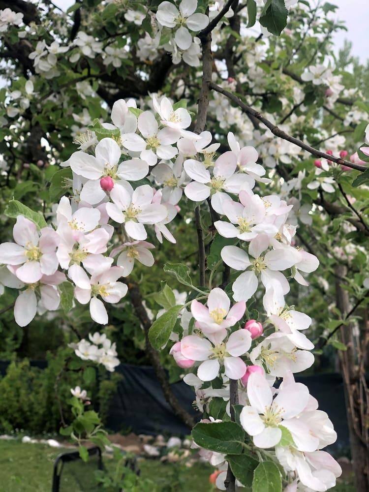 Kirschblüte, 9020 Klagenfurt am Wörthersee, Frühling, Blüten, weiß